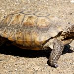 Desert Tortoise at Safe Haven