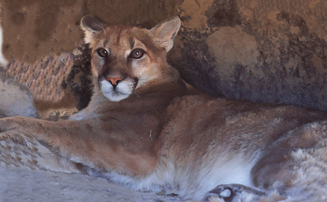 """Help Give Orphaned Cougars a """"Forever Home"""""""