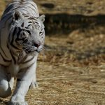 White Bengal Tiger at Safe Haven