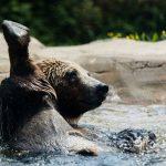 Bear Bathing at Safe Haven