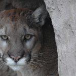 Cougar at Safe Haven