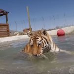 Tigers First Swim at Safe Haven