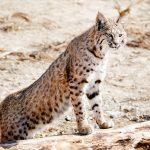 Bobcat at Safe Haven