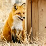 Red Fox at Safe Haven