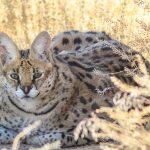 African Serval at Safe Haven