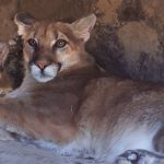 Cougar Patty Kay at Safe Haven