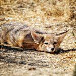 Kit Fox at Safe Haven