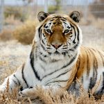 Siberian Tiger at Safe Haven