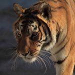 White Bengal Tiger at Safe Haven