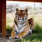 Bengal Tiger at Safe Haven