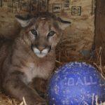 Cougar at Safe Haven Wildlife
